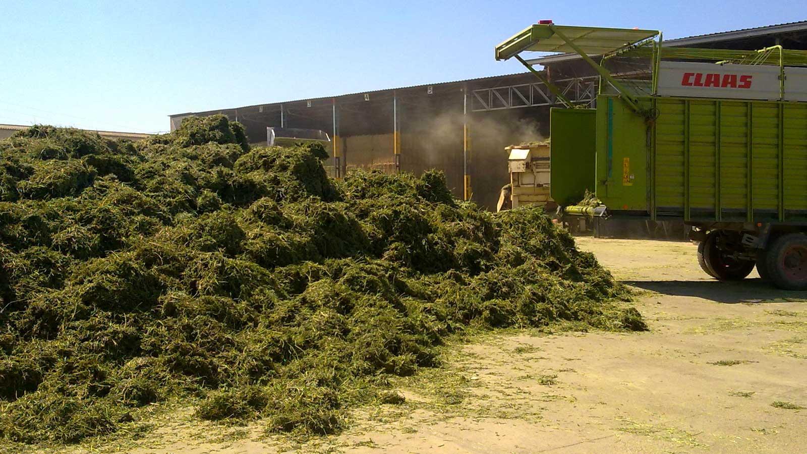 Alfalfa española deshidratada