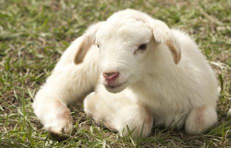 alfalfa para corderos